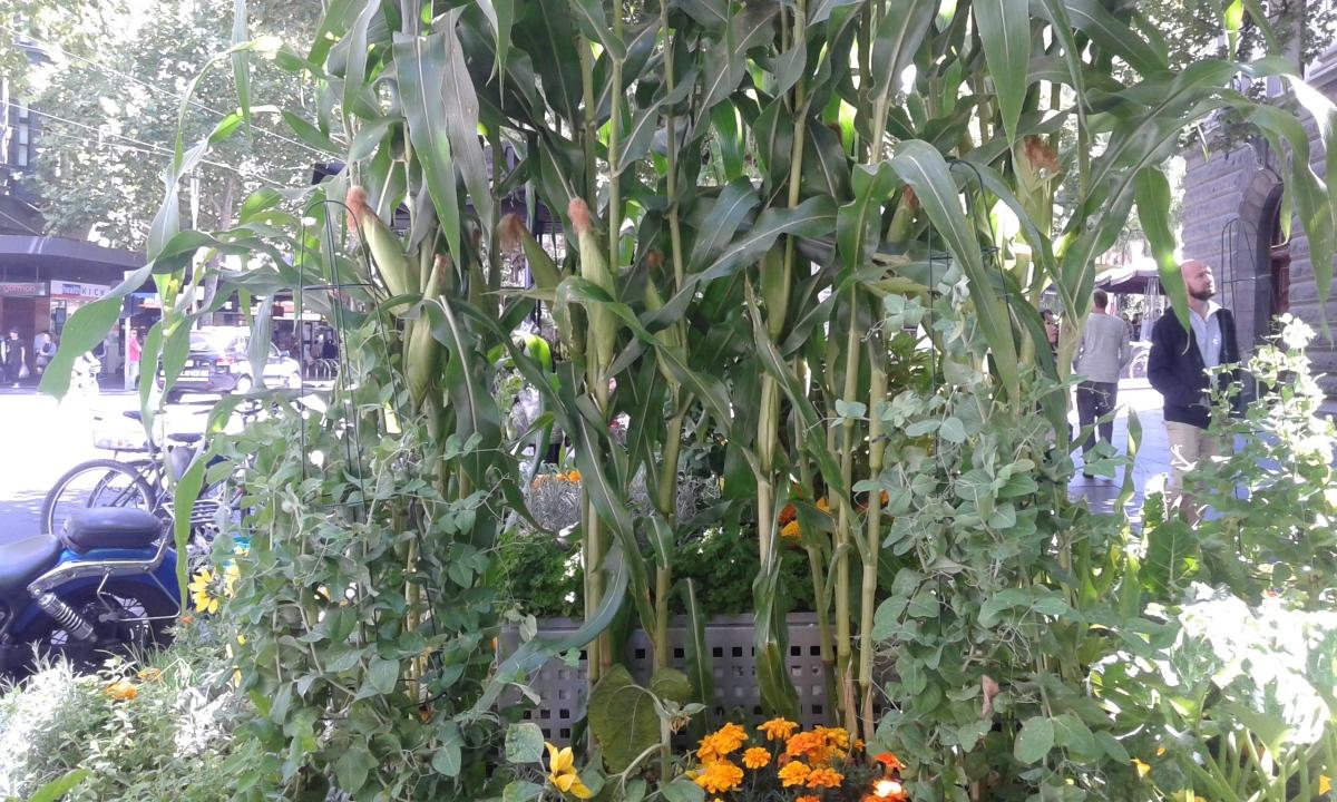 Looking at corn on SwanstonStreet