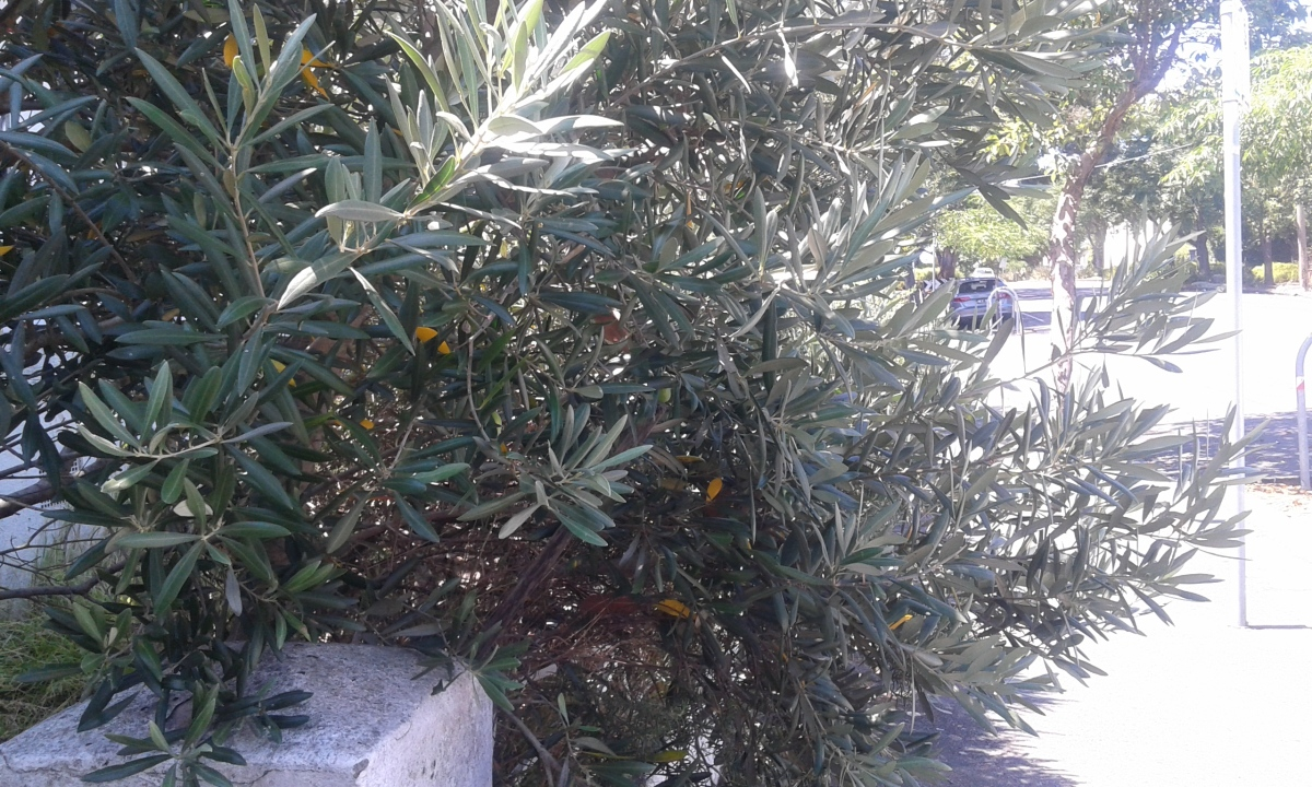 Let me tell you something about an olive tree